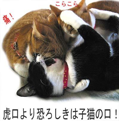 大人猫にかぶりつく子猫