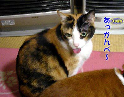 あっかんべーをする猫