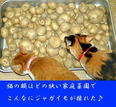 猫とジャガイモの山