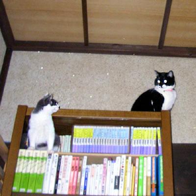 本棚に登る猫達
