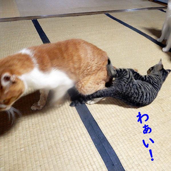 大人猫にじゃれる子猫