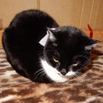 香箱をつくる猫、香箱座り