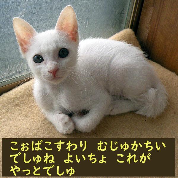 うまく香箱がくめない子猫